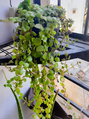 Tangled heart  plant,grow care,propagating