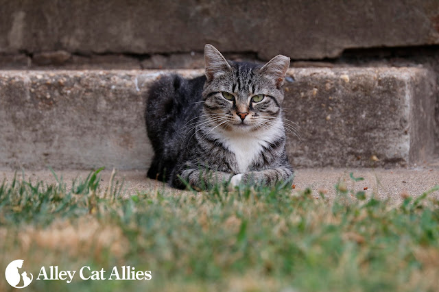 feral ear-tipped tabby cat keeps watch from a distance