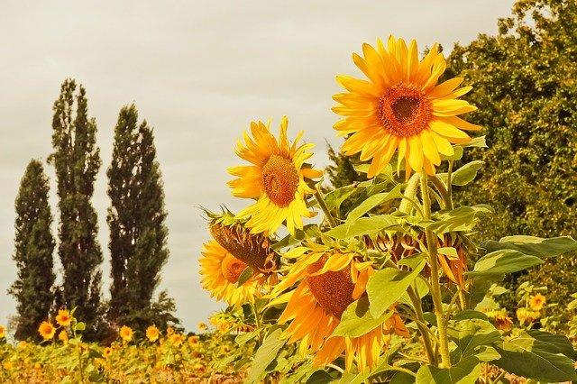 Cara Menanam dan Merawat Bunga Matahari dari Biji Untuk Pemula