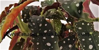 hojas-begonia-maculata