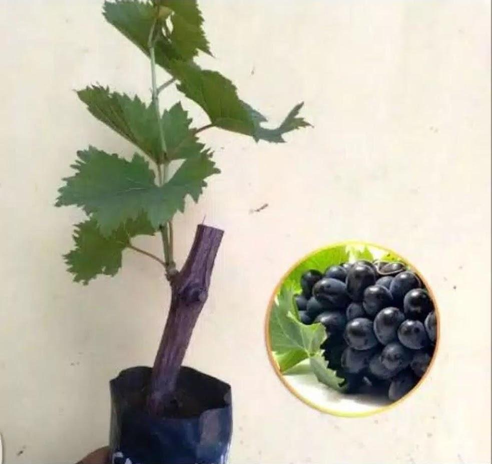 Paket 3 Bibit Anggur Isabella Jawa Timur