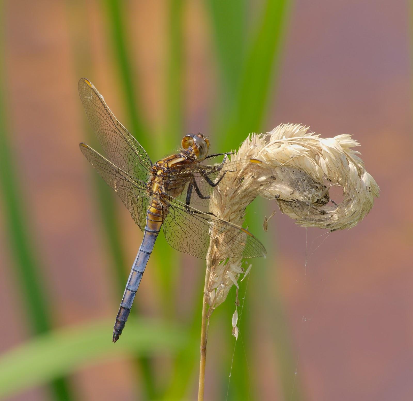 Insects: Schwarzbach Woellnau - Kleiner Blaupfeil Maennchen