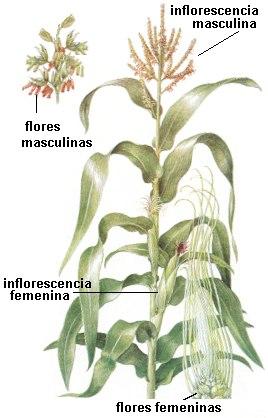 Inflorescencia del maíz