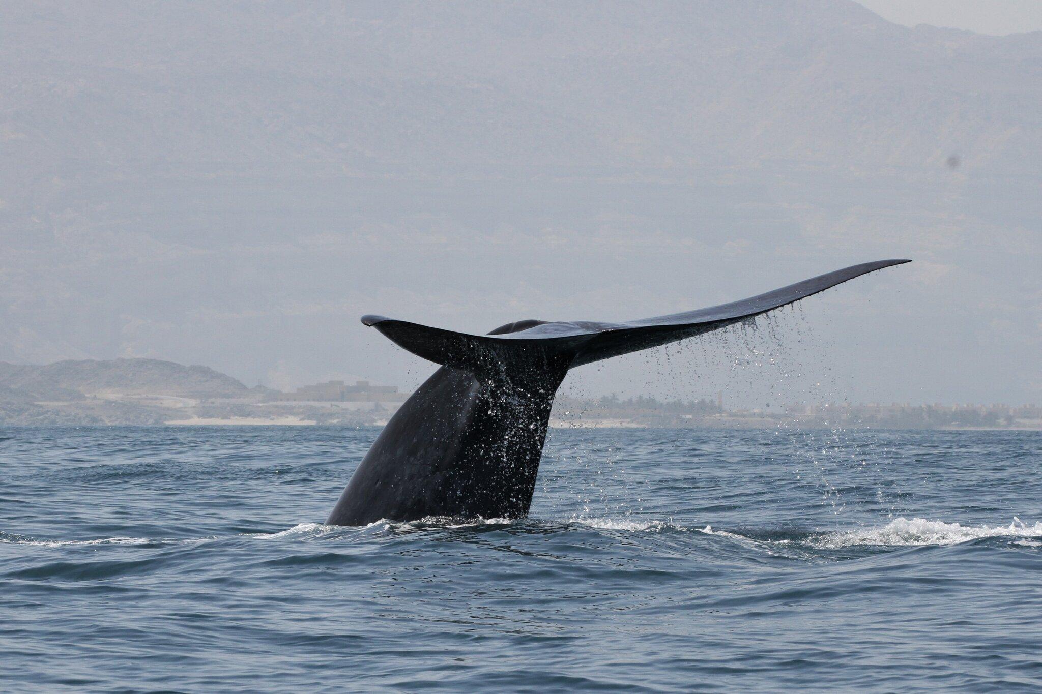 """Résultat de recherche d'images pour """"Cette nouvelle espèce de baleine décrite est déjà menacée d'extinction"""""""