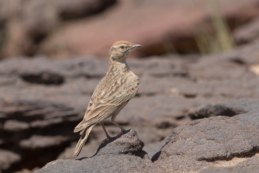Arabian Red-capped Lark