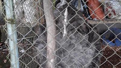 CODECHOCÓ, realizó el decomiso de un avestruz en cautiverio en jurisdicción del Atrato