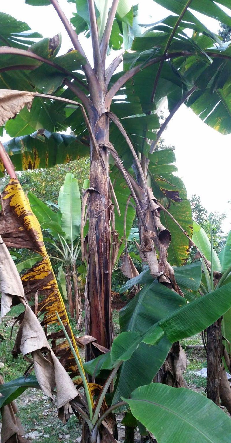 Gambar Pohon Pisang Kidang Atau Pisang Raja Udang