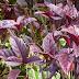 khasiat manfaat herbal daun ungu