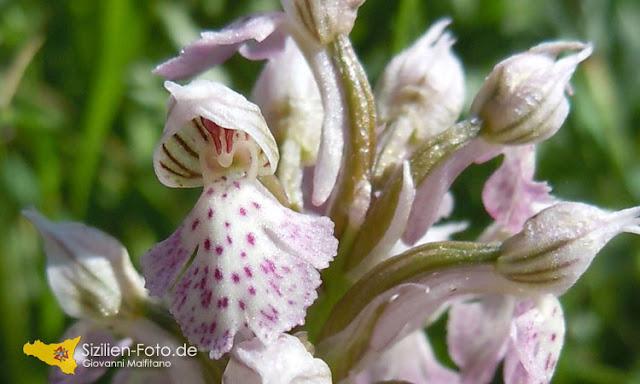 Wilde Orchideen auf Sizilien