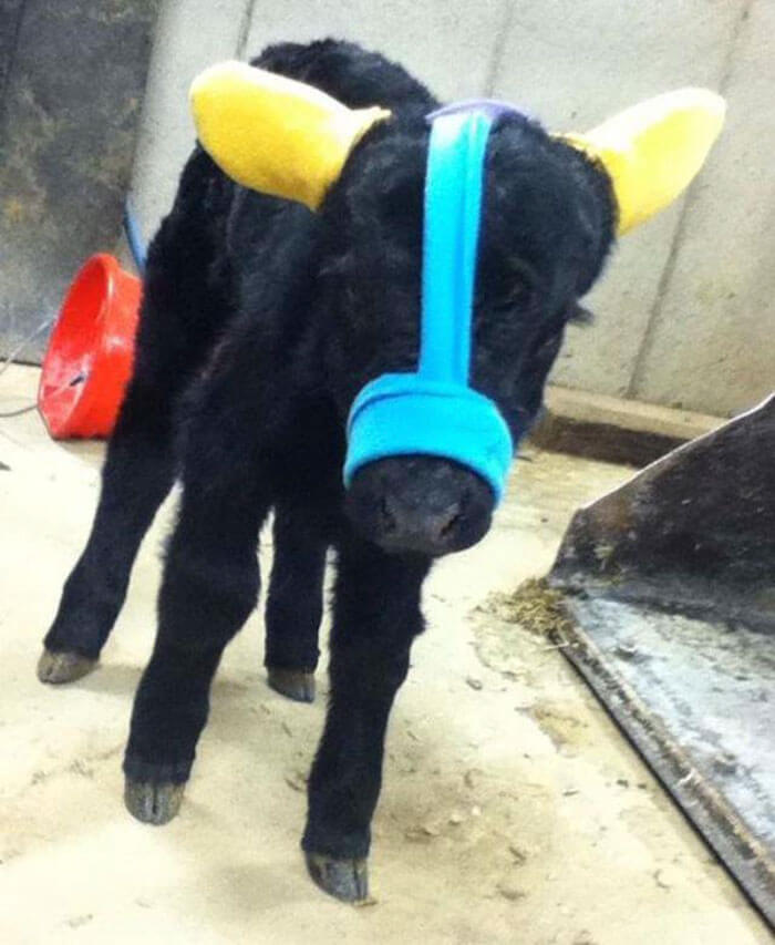Adorable Pictures Of Calves Wearing Earmuffs That Protect Them From Frostbite