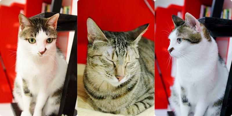 [台北待認養貓。貓住宿。貓旅館] 貓館~愛貓人的好去處