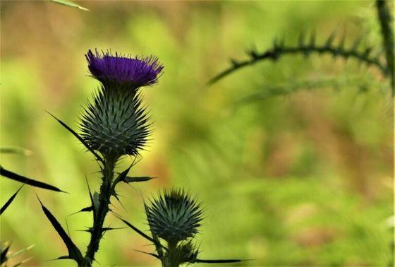Το Νο1 βότανο που προστατεύει και αποτοξινώνει το ήπαρ