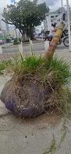 Árvores da avenida 29 de dezembro precisam ser arrancadas porque foram plantadas dentro de sacos e baldes