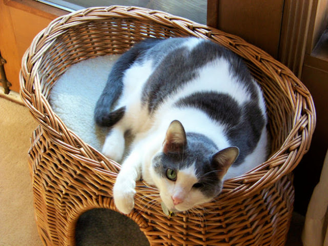 gray and white cat in a basket
