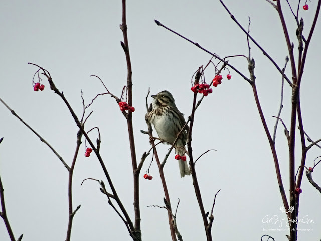 Song Sparrow in Mountain Ash Photo