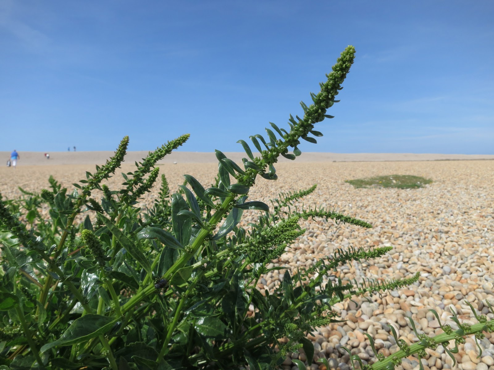 The flower/seed spikes of a sea beet plant on Chesil Beach.