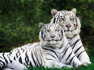 Pareja de Tigres Blancos posando
