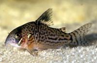 Jenis Ikan Corydoras copei