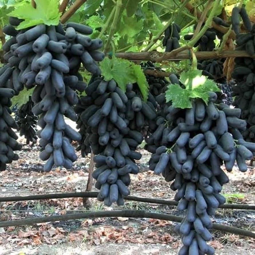Bibit Anggur Moondrop Import Asli Original Jawa Timur