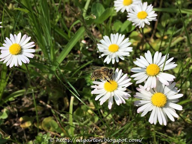 Blühende Gänseblümchen mit Biene