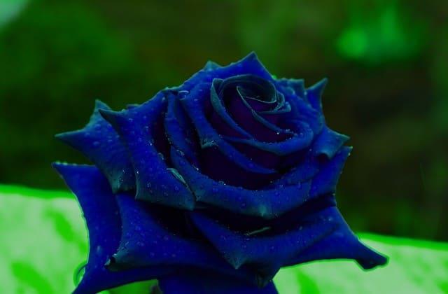 setangkai bunga mawar biru pekat