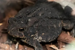 Natterjack Toad(Epidalea calamita)
