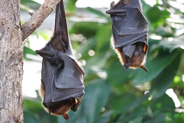 सिवनी : मृत हुए चमगादड़ों की जांच रिपोर्ट प्राप्त, जानिए कैसे चमगादड़ो की मौत / SEONI NEWS