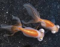 Ikan Hias Koki Fanci Celestion Eye sama jenis