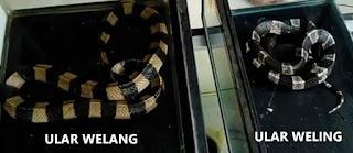 perbedaan antara ular welang dengan ular weling
