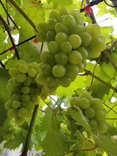 buah anggur harold