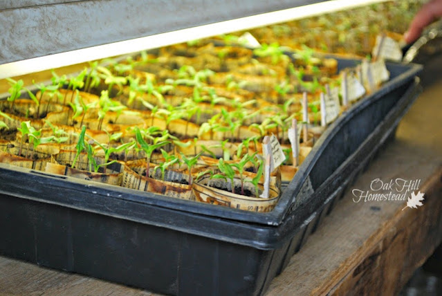 A flat of young tomato seedlings started indoors.