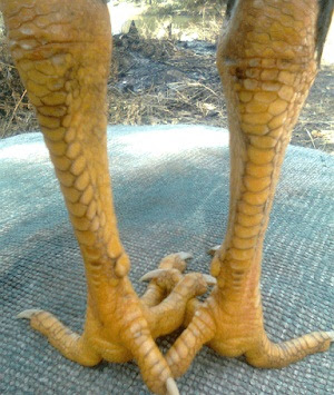 gambar sisik naga temurun
