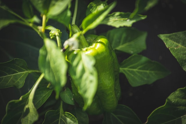 Bell pepper Capsicum