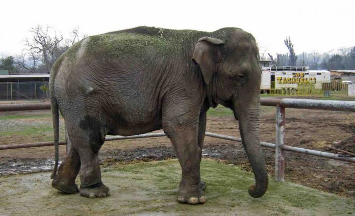 The Last Performing Circus Elephant Of Chile Was Rescued And Found Her Forever Home
