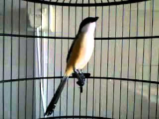Burung Cendet - Cara Memaster Burung Cendet atau Pentet Agar Cepat Gacor - Penangkaran Burung Cendet