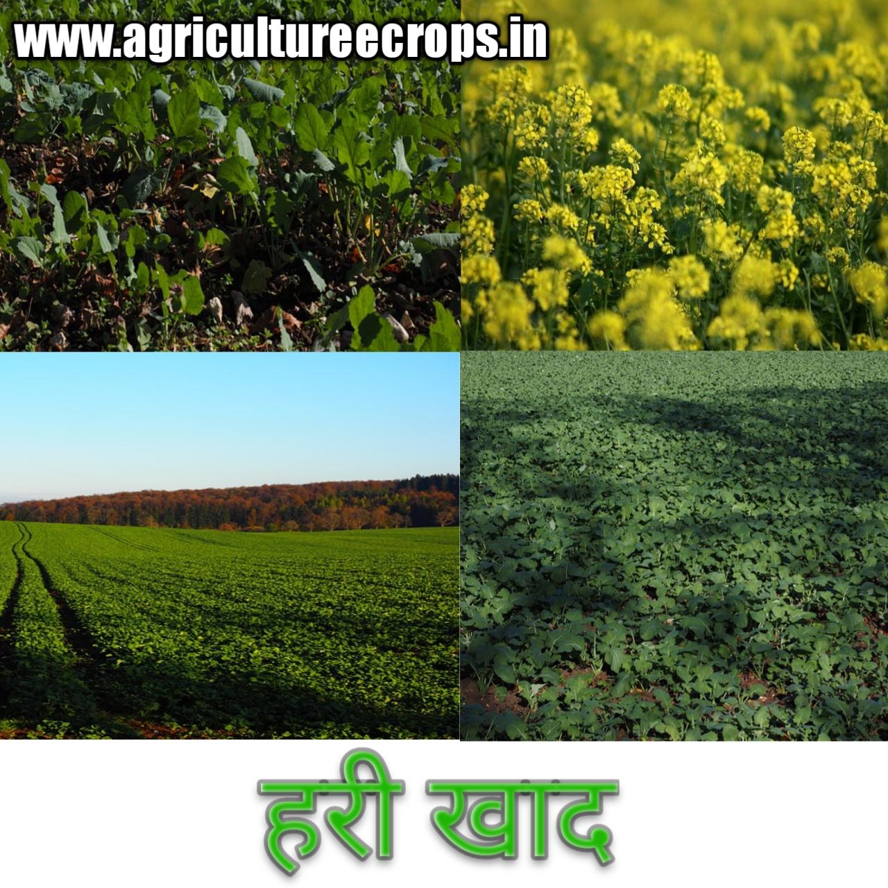 हरी खाद क्या है पूरी जानकारी हिंदी में Green Manure