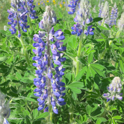 lupine, Lupinus, flowers and leaves
