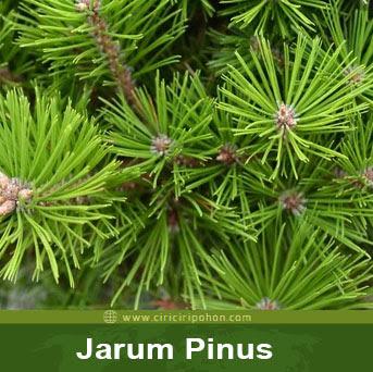 ciri ciri pohon jarum pinus