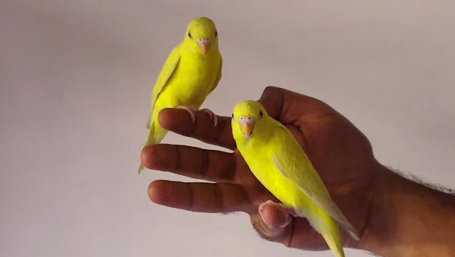 How old can my canary get?