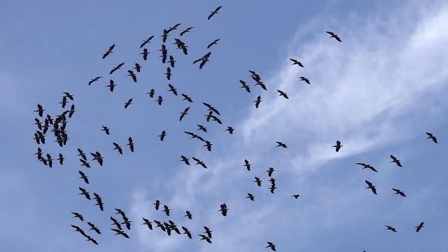 هجرة الطيور معلومات هامة  ...ثقف نفسك