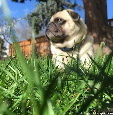 Liam the pug in the grass