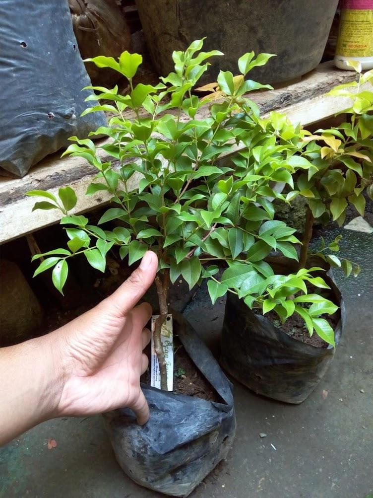 Bibit Anggur Pohon Brazil JABOTICABA Malang