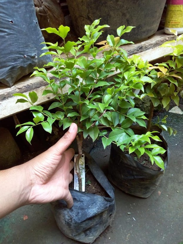 Bibit Anggur Pohon Brazil JABOTICABA Sibolga