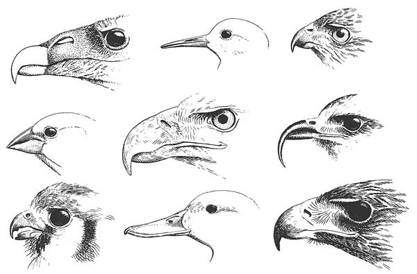 Breve introducción a la anatomía de las aves 2