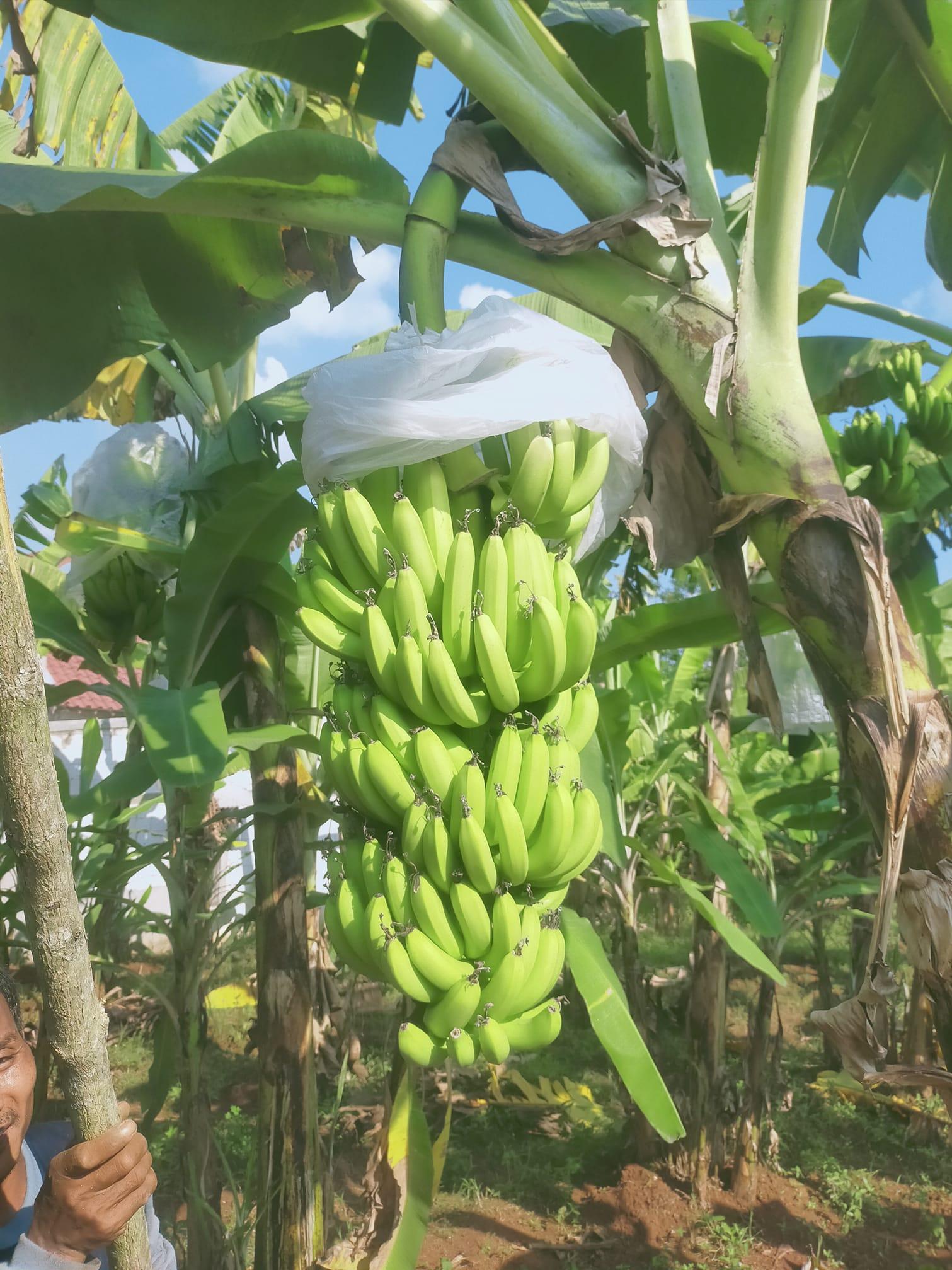 kebun pohon pisang cavendish