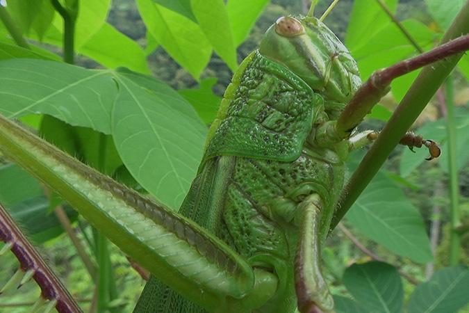 Dlium Large green grasshopper (Chondracris rosea)