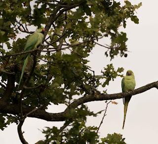 Parakeets Pairing Up