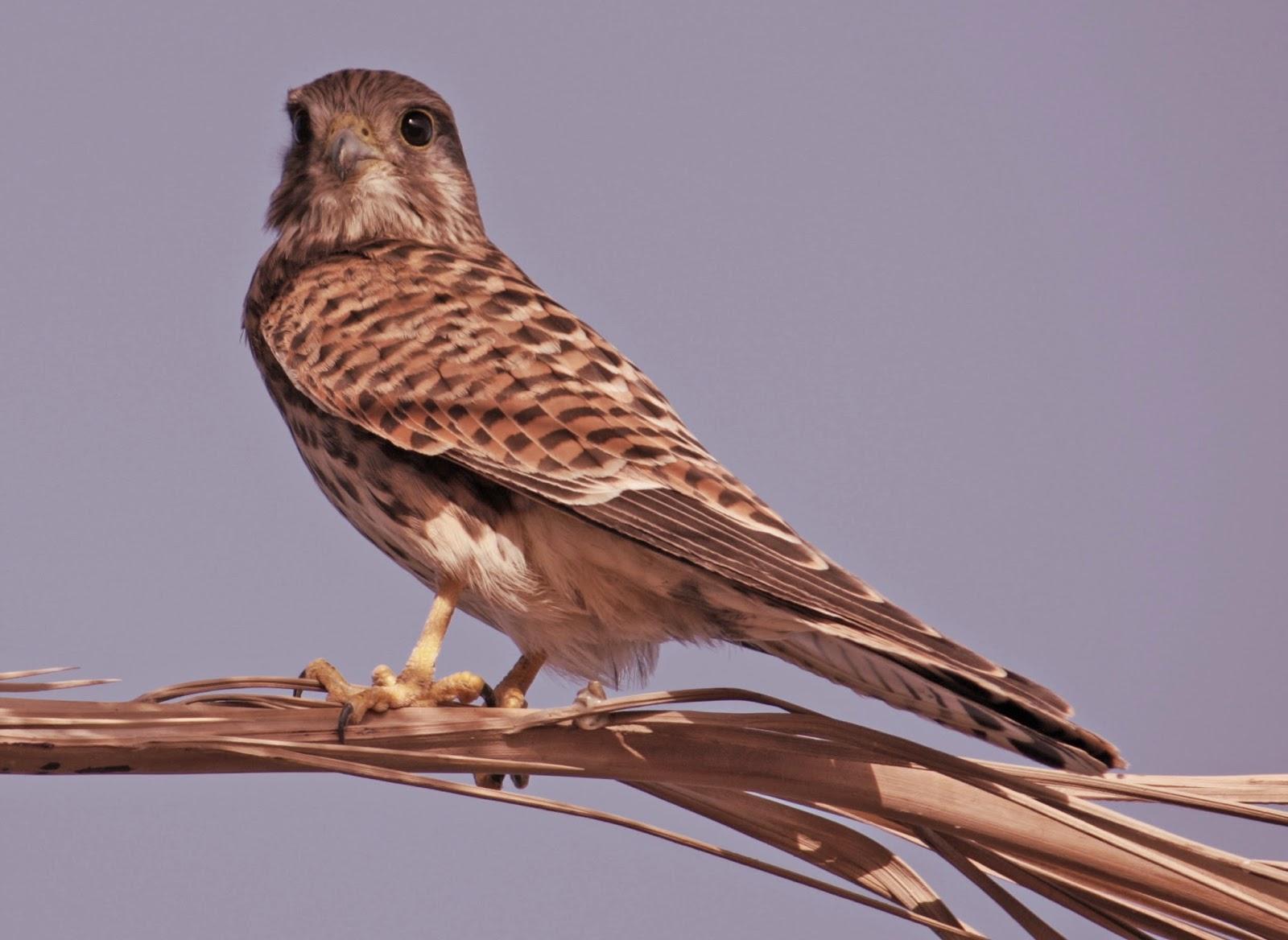 gambar burung alap-alap nama hewan dari huruf A