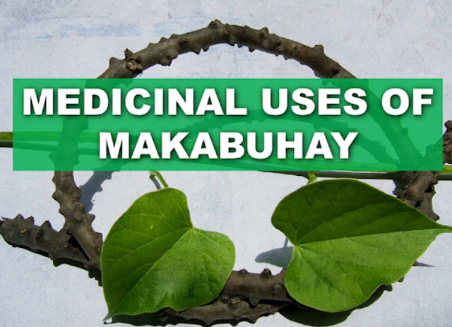 Makabuhay or Guduchi  (Tinospora cordifolia) is a roughly textured vine that extends from 4 up to 10ft. It is known to have heart-shaped leaves and commonly grow in different areas in the Philippines.  Makabuhay plant contains chemicals that can be beneficial to health such as colombine, a little alkaloid, and glucoside. It also has picroretine and traces of berberine on its leaves. Being on the list of medicinal plants that are highly potent in giving a solution to common health issues, it has gained the reputation of being a highly recommended medicinal plant in Asia.  Advertisement        Sponsored Links   DISEASES THAT CAN BE CURED USING MAKABUHAY PLANT  AND HOW TO USE IT:     FEVER:  Make a tea by boiling the leaves and vines of makabuhay. Drinking the tea can cure high fever and help lower the body temperature.   SCABIES:  Grind or pound the makabuhay vines to extract the juice and apply it directly to skin affected by scabies.   MALARIA:  The tea made from boiling the leaves and the vine of makabuhay can be used  to cure high fever caused by malaria.   WOUNDS AND CUTS:  Washing the wounds  using the water from boiled makabuhay plant  can speed up the healing process and avoid infections because of the antiseptic properties of makabuhay plant.  Pounded vine soaked in coconut oil can also be applied directly onto affected area.    RHEUMATISM AND ARTHRITIS:  Pound the makabuhay vines and soak it in coconut oil. Use the oil as a liniment and apply it on the affected part.   STOMACH ULCER:  Drinking the water infused with pounded makabuhay vines can help alleviate the pain caused by an ulcer.   FLATULENCE:  The oil with pounded makabuhay vine soaked to it can be applied to the abdomen to ease flatulence.    ATHLETES FOOT:  The oil with soaked makabuhay vines applied directly on the affected area can cure athletes foot.     READ MORE:  Find Out Which Country Has The Fastest Internet Speed Using This Interactive Map       Find Out Which Is The Best Broadband Connection In The Philippines   Best Free Video Calling/Messaging Apps Of 2018    Modern Immigration Electronic Gates Now At NAIA    ASEAN Promotes People Mobility Across The Region    You Too Can Earn As Much As P131K From SSS Flexi Fund Investment    Survey: 8 Out of 10 OFWS Are Not Saving Their Money For Retirement    Can A Virgin Birth Be Possible At This Millennial Age?    Dubai OFW Lost His Dreams To A Scammer    Support And Protection Of The OFWs, Still PRRD's Priority