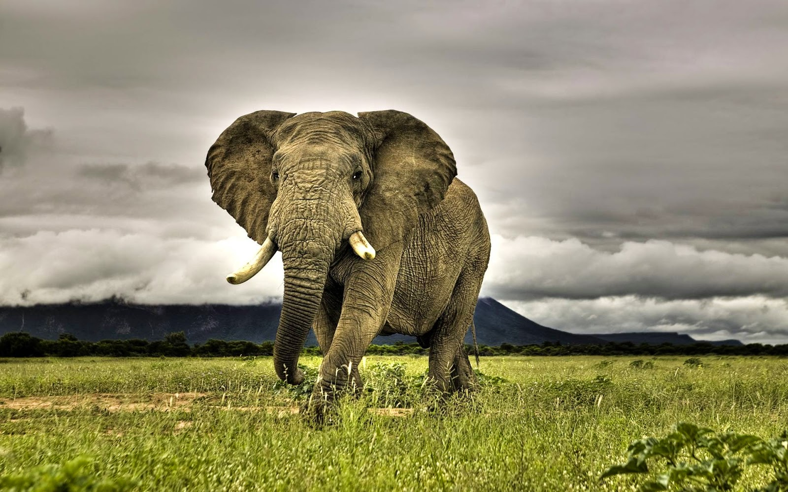 Elephant Animal HD Wallpaper